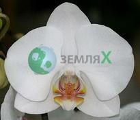 Купить Орхидея Аlice Girl (Ø 12 см, h 70 см)
