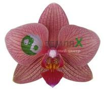 Купить Орхидея Aberdrot (Ø 12 см, h 70 см)