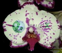 Купить Орхидея Almeria (Ø 12 см, h 70 см)