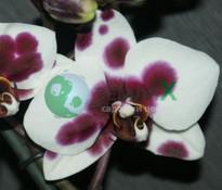Купить Орхидея Papagayo (Ø 12 см, h 70 см)