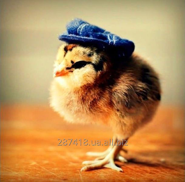 Купить Цыплята = зерно