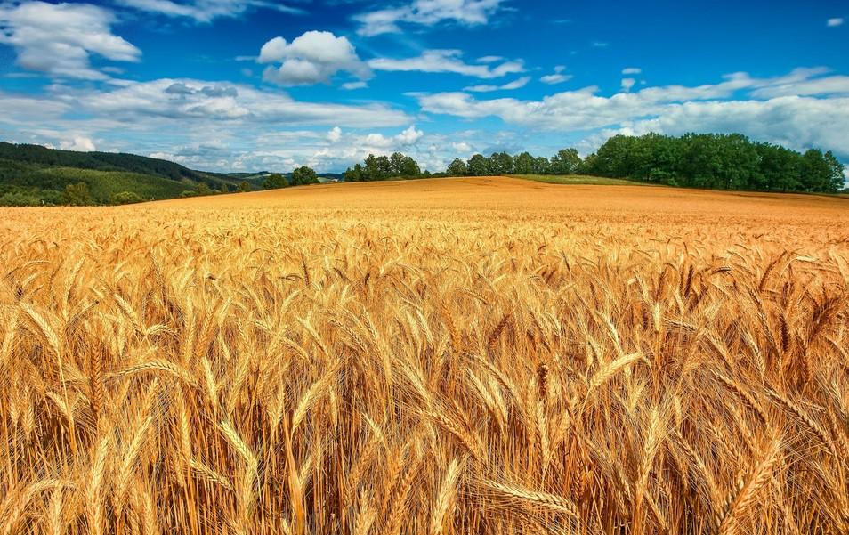 Купить Семена озимой пшеницы мягкой Новосмуглянка