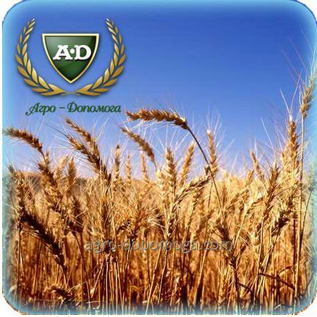 Пшеница озимая Звездопад