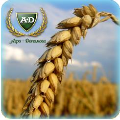 Пшеница озимая Фаворитка (безостая)