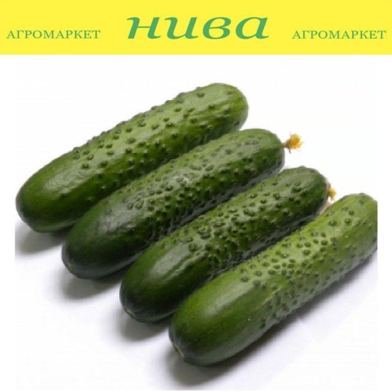Купить Спіно F1 насіння огірка партенокарпічного Syngenta 250 насінин