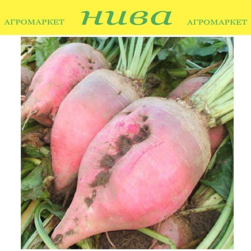 Купить Рекорд насіння буряка кормового Польща 1 кг