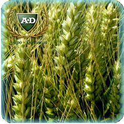 Пшеница озимая мягкая ВБ-528