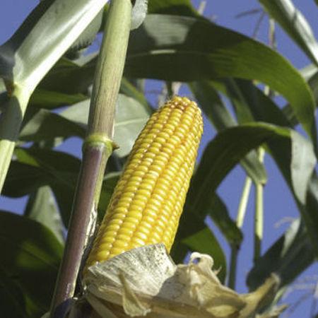 Купить Гибрид кукурузы ЗУРІГА ФАО 200
