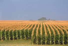 Купить Насіння кукурудзи НК Канзас, Сінгента