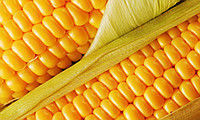 Купить Семена кукурузы Pioneer П9000 / P9000 (новий) ФАО 310