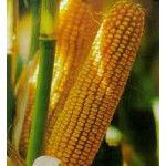 Купить Семена кукурузы Лимагрейн ЛГ 2195 ФАО 190