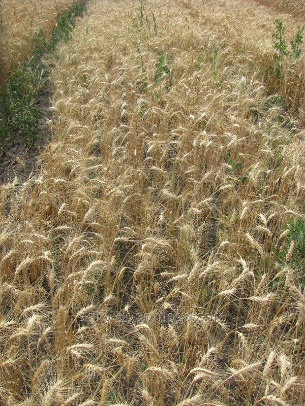 Пшеница озимая Малиновка