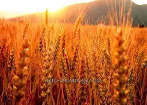 Пшеница озимая Мудрость одесская