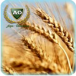 Пшеница озимая Паляница