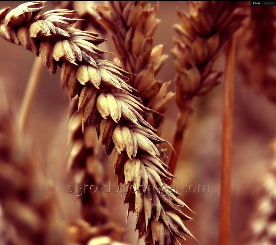 Пшеница озимая КАН элита