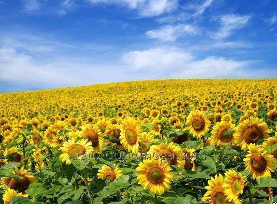 Семена подсолнечника Сирена МС (самоопыляемые семена подсолнечника)