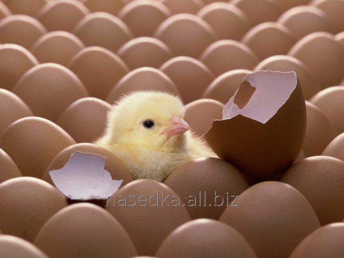 Купить Цыплята