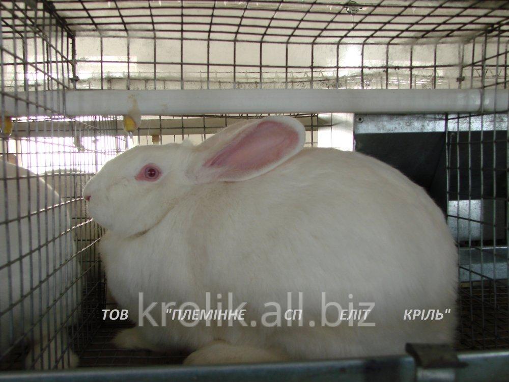 Кролики породы Термонская белая - Кролеферма Элит Кроль