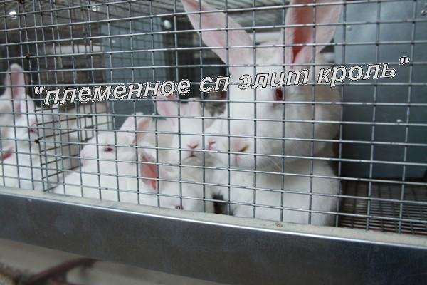 Кролики элитных мясных пород Калифорнийский, Термонская белая и Hila