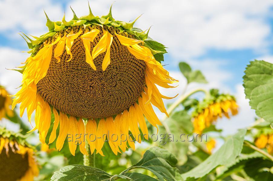 Семена подсолнечника Початок