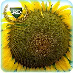 Семена подсолнечника НС-Х-496 (под Гранстар) Экстра