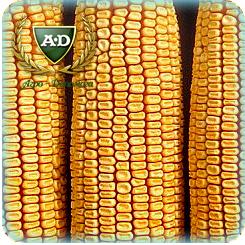 Насіння кукурудзи НС-3022