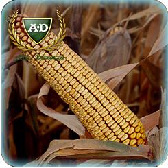 Семена кукурузы Днепровский 257 СВ