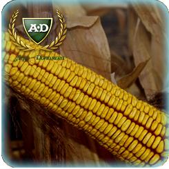 Семена кукурузы Капитал МВ