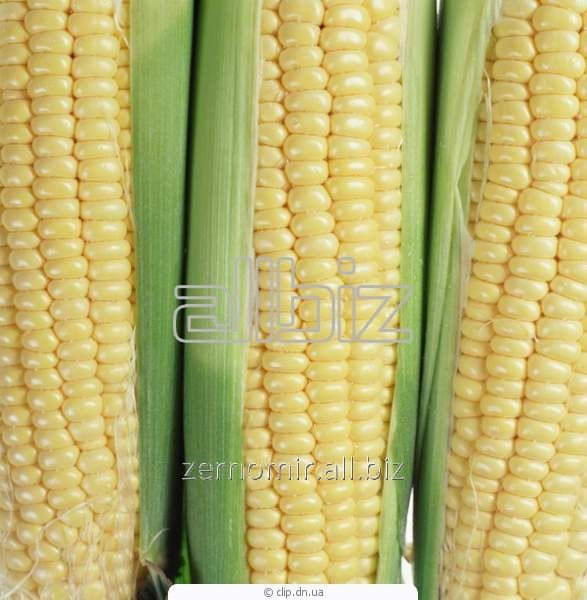 Кукуруза высокого качества