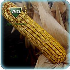 Семена кукурузы Свитанок МВ / Світанок МВ / Рассвет МВ