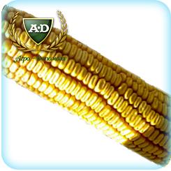 Семена кукурузы БН Хотин