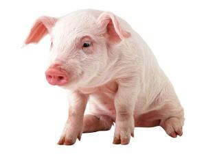 Купить БМВД ШенПиг Соу OrganiX 15-10% (супоросные и кормящим свиноматки) (мешок 25кг)