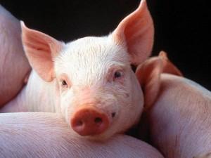 "Buy BVMK ""ShenPig Grover Euro Standard"" 15% (fattening pigs 35 to 70 kg)"