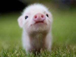 Купить БМВД ШенПиг ПС Golden Pig 30% (для поросят от 0 до 8 кг) (мешок 25кг)