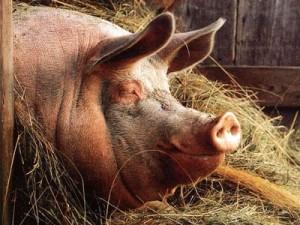 Купить БМВД ШенПиг Старт Golden Pig 25% (для поросят от 8 до 35 кг) (мешок 25кг)