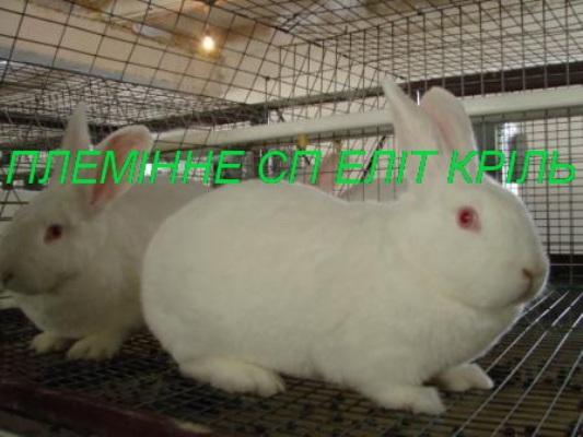 Кролики порода Термонский белый