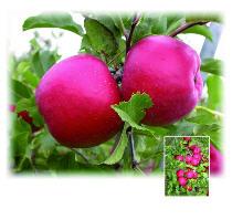 Саженцы яблони Розелла®