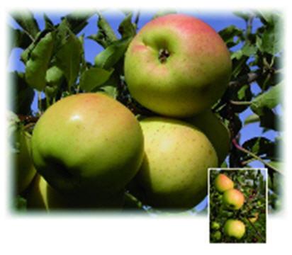 Саженцы яблони Сириус ®