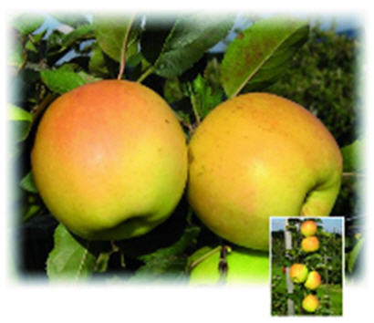 Buy Apple-tree saplings Orion ®