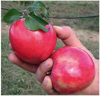 Buy Saplings of apple-tree of Reand