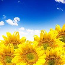 Семена подсолнечника Брэнд (под Евролайтнинг), соняшник Бренд