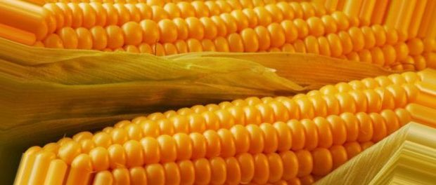Купить Семена кукурузы Ривьера Стандарт