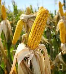 Купить Семена кукурузы Марсель Стандарт