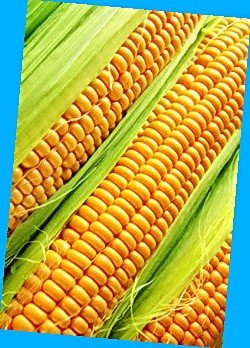 Corn Athena (nas_nnya Af_n's kukrudz of FAO 280) sowing material of corn