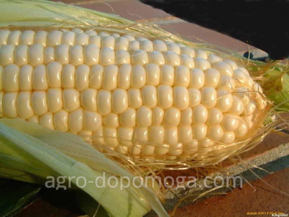 Семена кукурузы Муасон (посевной материал)