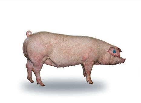 Свиньи племенные породы ландрас