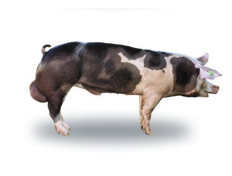 Хряки и свинки племенные породы пьетрен