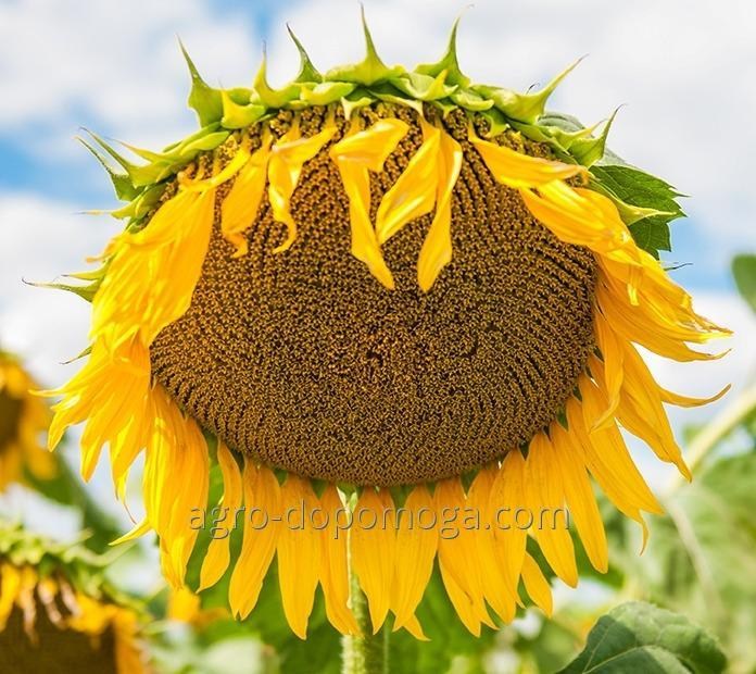 Семена подсолнечника Армада КЛ