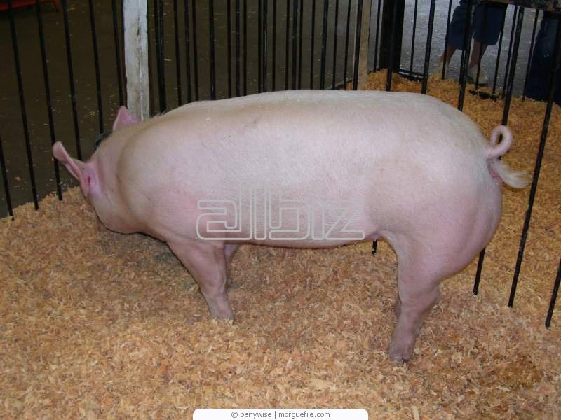 Купити Свині. Продаж живою вагою. Ізмаїла