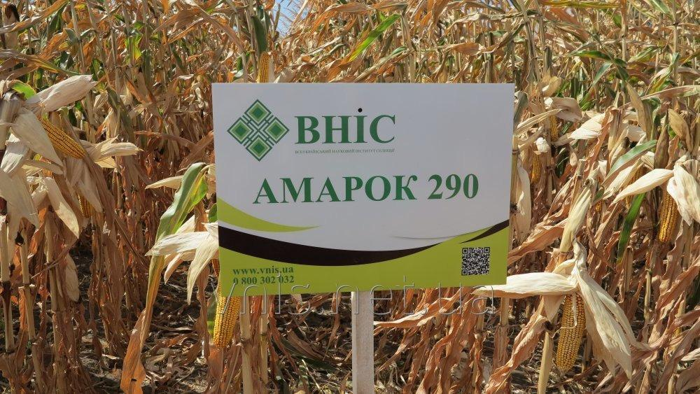 Corn seeds Amarok 290 (FAO 320)